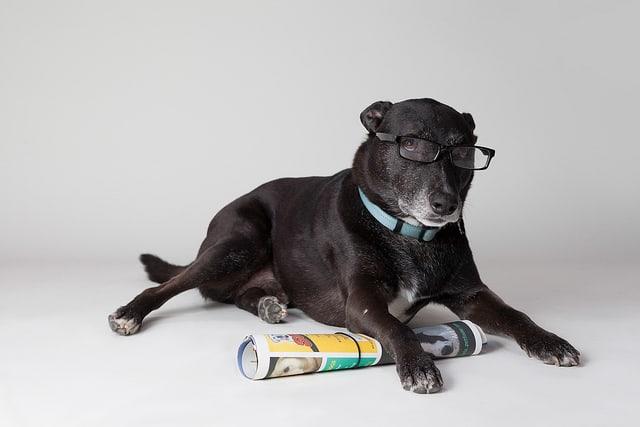 Cachorro preto, de grande porte, com óculos, deitado sobre revista, em posição de leitura