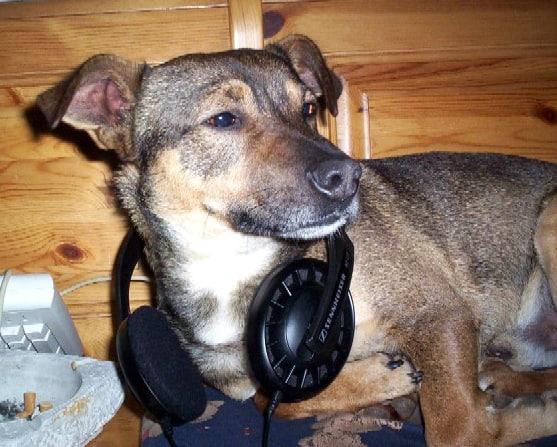 Cachorro de porte médio com fones de ouvido ao pescoço